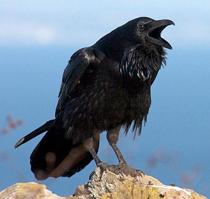 Raven www.allaboutbirds.org