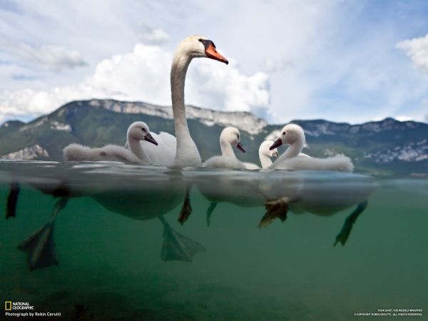 mother-swan-and-young-seen-above-and-under-water-1380538945_b